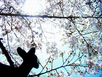 奈良公園で桜見物R5216225.jpg
