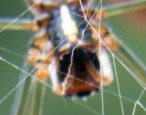 蜘蛛カメラ目線R0118317.jpg
