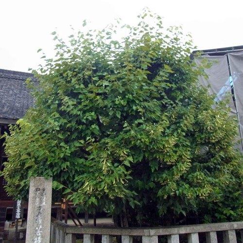 西大寺菩提樹R0153741.jpg