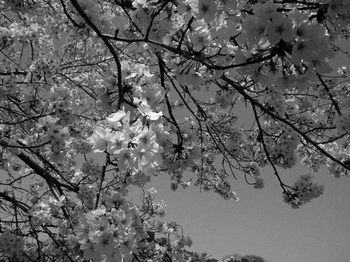 PVモノクロ桜2.jpg