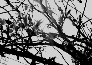 PV桜つぼみmessenger702.jpg