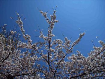 PV青空桜.jpg