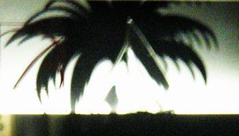 バカラ椰子.jpg