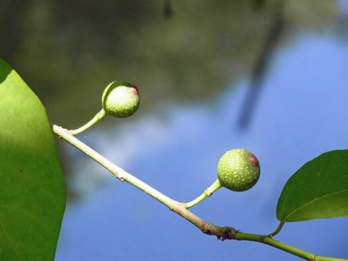 沙羅双樹R0153449.jpg