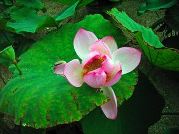 蓮の花R5216939JPEG変換.jpg